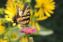 Eastern Tiger Swallowtail (Papilio Glaucus) Butterfly Nectaring On Pink Zinnia