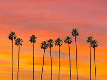 A Group Of Towering Palm Trees With Sunset Sky In Los Angeles, California.