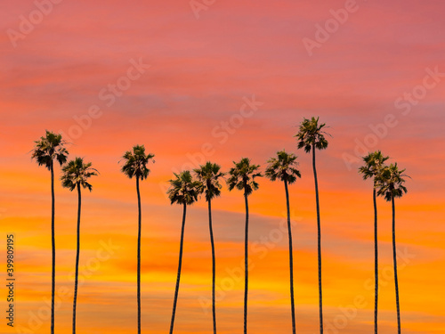 Fototapeta A group of towering palm trees with sunset sky in Los Angeles, California