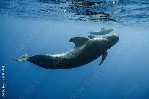 Foto Pilot whales underwater