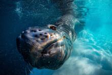 Leopard Seal Underwater In Antarctica
