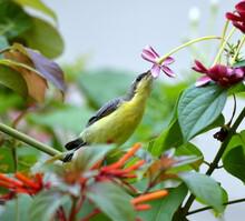 Young Sun Bird (female)
