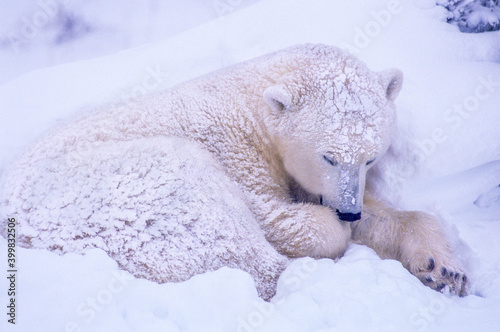 Canvastavla Young polar bear in day bed