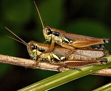 A Macro Photograph Of Two Grasshoppers Engaged In The Mating Ritual On A Branch.