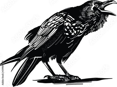 Fototapeta crow on a white background