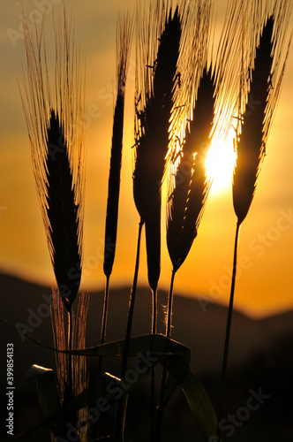 Fototapeta Zachód słońca  na pomarańczowym niebie widziany przez kłosy zboża. obraz