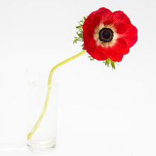 Red Flowers Of Anemone On A White Background. Copy Space