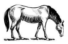 Walking Grazing Horse. Ink Black And White Drawing