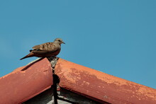 Bird Known As Common Ground-Dove, Perched Quietly On The Eaves Of A Red-tiled Roof.