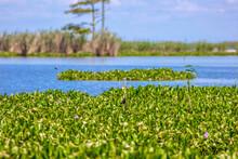 Water Hyacinth In Louisiana Swamp