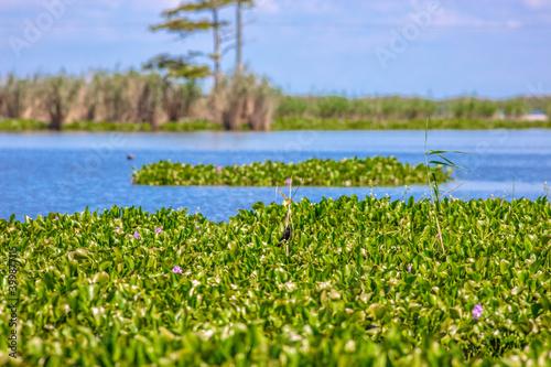 Water hyacinth in Louisiana swamp фототапет