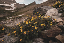 Yellow Flowers Grow Out Of Rocks In Front Of Piegan Pass Trail