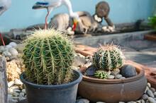 Barrel Cactus With Long Thorns In Garden