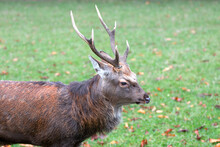 Japanese Deer Or Sika (in German Sikahirsch Exact Dybowski-Hirsch) Cervus Nippon Exact Cervus Nippon Hortulorum