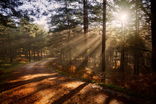 Sunrise In The Forest, Sun Rays Penetrating The Trees