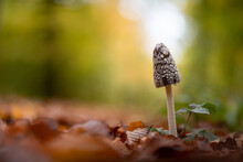 Magpie Inkcap Fungus Mushroom In A Forest