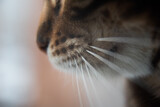 close-up of the cat's nose. The moustache is clearly visible. a predator scenting prey