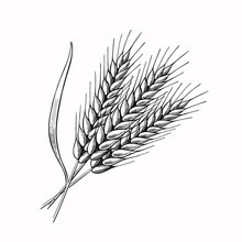 Wheat Barley Spikelets Hand Drawn Vector Illustration. Sketch Rye Ears. Engraved Bakery Logo Or Cereal Crop Symbol,