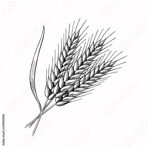 Photo Wheat barley spikelets Hand drawn vector illustration