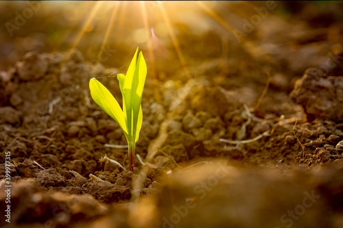 Canvas Seeding corn or maize plantation in soil of organic farm agriculture in country,