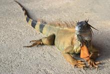 Golden Iguana In Costa Rica Lying On The Floor