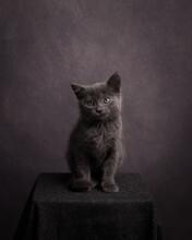 Classic Studio Portrait Of Beautiful Cute Grey Kitten In Rembrandt Style