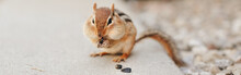 Chipmunk Eating Sunflower Seeds. Yellow Ground Squirrel Chipmunk Eating Feeding Grains And Hiding Stockpile Them In The Cheek Pouches. Wild Animal In Nature Outside. Web Banner Header.