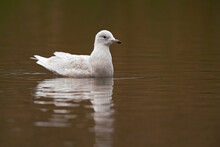 An Immature Iceland Gull Swimming In A City Pond In Amsterdam.