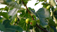 Closeup Shot Of Growing Figs On The Tree Branches
