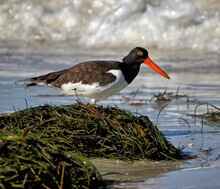 American Oystercatcher On Beach Behind Seaweed Pile With Wave Breaking In Background. H. Palliatus.