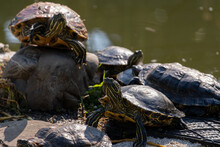Freshwater Turtles On The Shore Near The Water. Animal World.