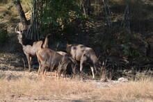 Thirsty Sambar Deers At Forest  Wildlife Photography