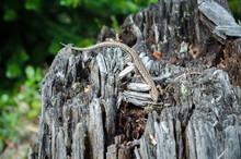 Lizard On An Old Tree Stump