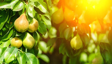 Ripe Pears On The Branches Of A Tree In The Garden. Harvesting. Space For Copying Text. Banner