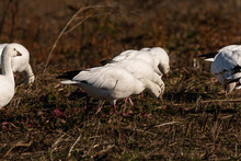 Beautiful White Snow Geese Looking For Food In A Field