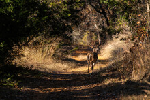 Large White-tailed Deer Running Down A Path In Some Woods