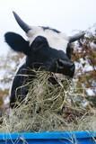 Fototapeta Konie - Longhorn calf eating hay during winter on farm close up.