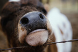 Fototapeta Konie - Muzzle of baby cow shows calf nose through fence close up in shallow depth of field.