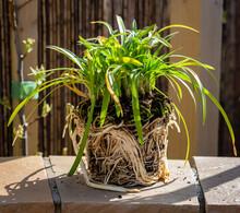 Pot Bound Agapanthus Plant