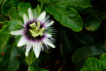 Passion Fruit Flower, Background Of Passion Fruit Leaves.