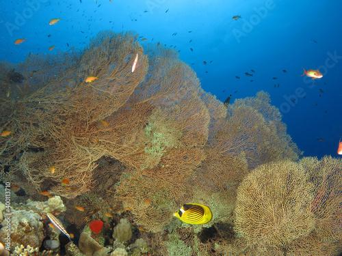 Fototapeta Giant sea fans Annella mollis