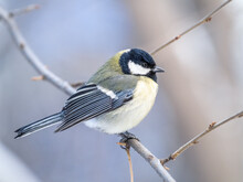 Cute Bird Great Tit, Songbird Sitting On A Branch Without Leaves In The Autumn Or Winter.