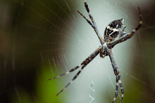 Argiope Argentata, A.k.a. Silver Argiope Spider Lurking On Its Cobweb