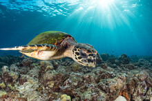 Hawksbill Sea Turtle Swims Above Coral Reef In Tropical Waters