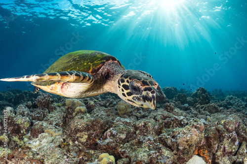 Obraz na plátně Hawksbill sea turtle swims above coral reef in tropical waters