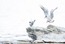 Brown-headed Gull - Braunkopfmöwe - Larus Brunnicephalus, Tajikistan, 1st Summer With Common Tern Sterna Hirundo Tibetana