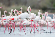 Greater Flamingo, Phoenicopterus Roseus