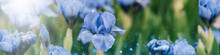 Beautiful Blooming Light Blue Violet Iris Flowers In The Garden In Spring With Rain Drops After Rain With Natural Blurred Background. Selective Focus, Perennial Garden. Gardening.