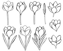 Set Flowers Crocuses Black And White Coloring Vector Illustration