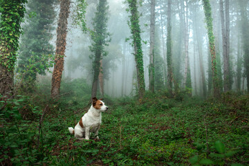 red dog in foggy forest. Jack Russell Terrier in nature.